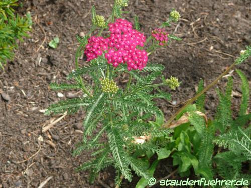 Bild Achillea millefolium 'Sammetriese'