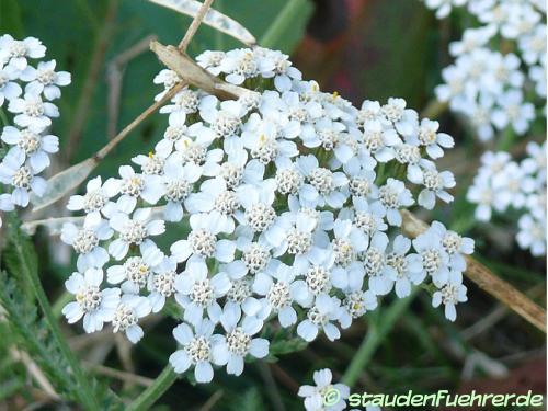 Bild Achillea millefolium