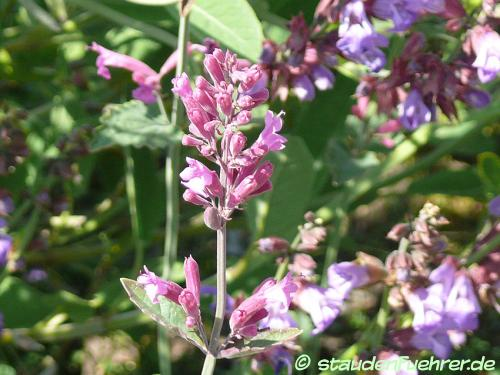 Image Agastache mexicana
