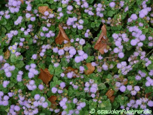 Image Ageratum houstonianum 'Arielle Power Blue'