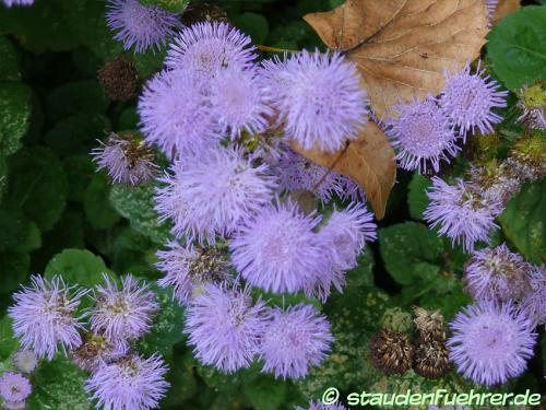 Bild Ageratum houstonianum 'Arielle Power Blue'