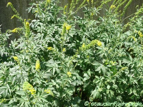 Image Agrimonia eupatoria