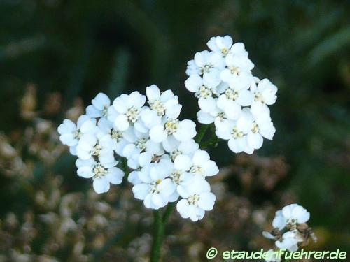 Bild Achillea asplenifolia