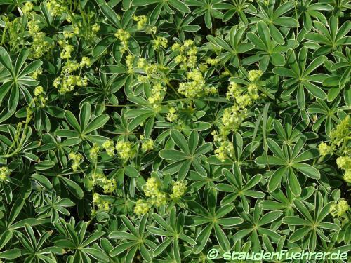 Bild Alchemilla plicatula