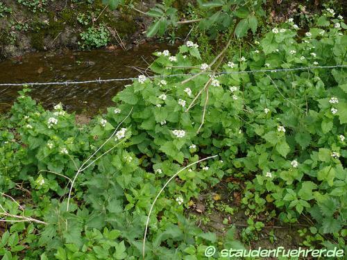 Bild Alliaria petiolata