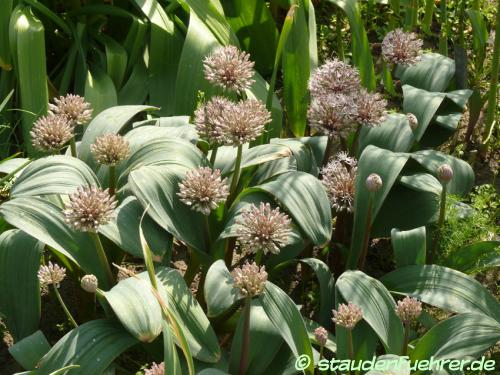 Image Allium angulosum
