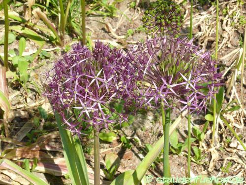 Image Allium christophii