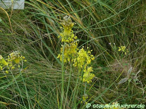 Image Allium flavum