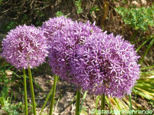 Bild Allium globemaster