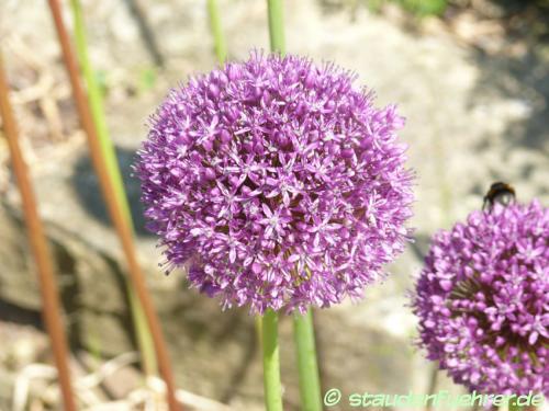 Image Allium-Hybride Ambassador