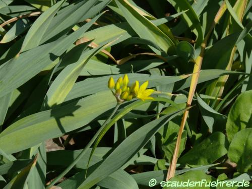 Image Allium moly