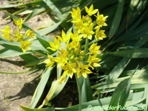Bild Allium moly