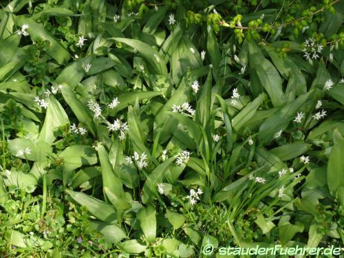 Bild Allium ursinum