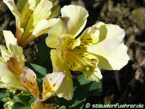 Bild Alstroemeria 'Sunlight'