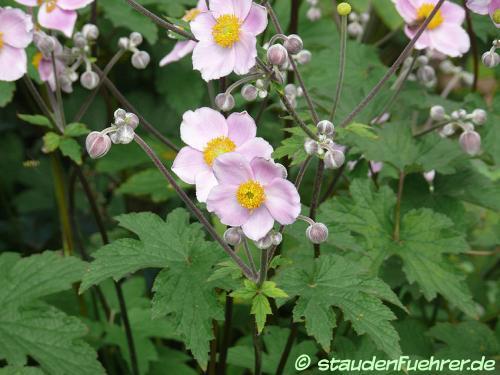 Bild Anemone hupehensis japonica