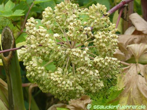 Image Angelica archangelica