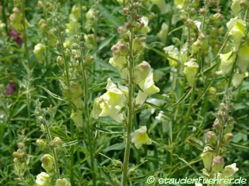 Bild Antirrhinum braun-blanquetii