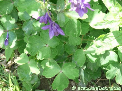 Bild Aquilegia vulgaris