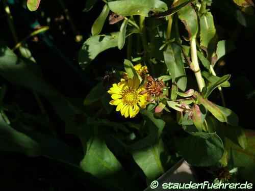 Image Arnica longifolia