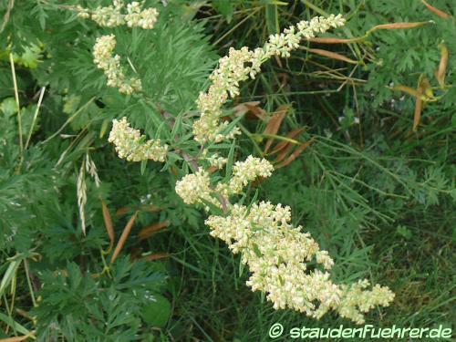 Bild Artemisia vulgaris