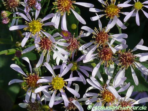 Image Aster macrophyllus