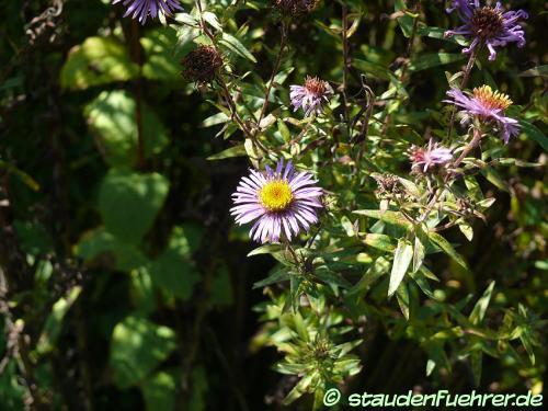 Image Aster novae-angliae-Symphyotrichum novae-angliae
