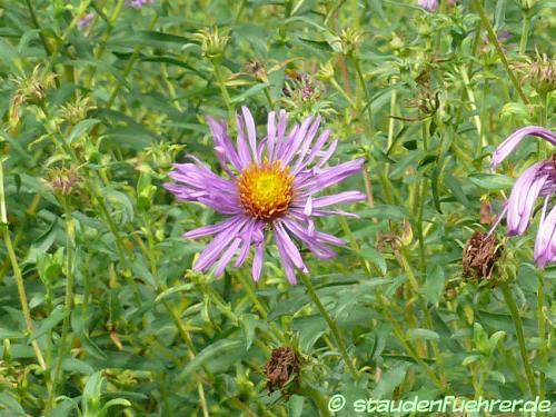 Bild Aster novae-angliae 'Violetta'