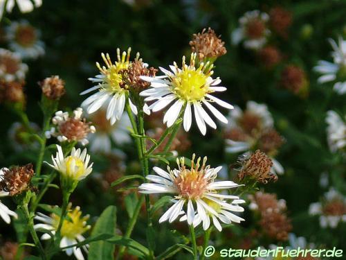 Bild Aster parviflorus Machaeranthera parviflora