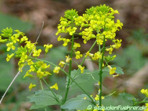 Image Barbarea vulgaris