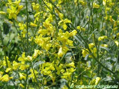 Image Brassica oleracea