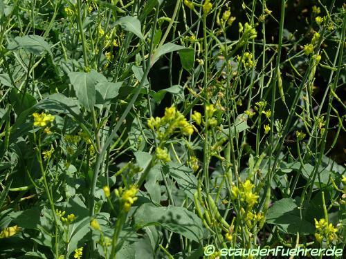 Bild Brassica juncea