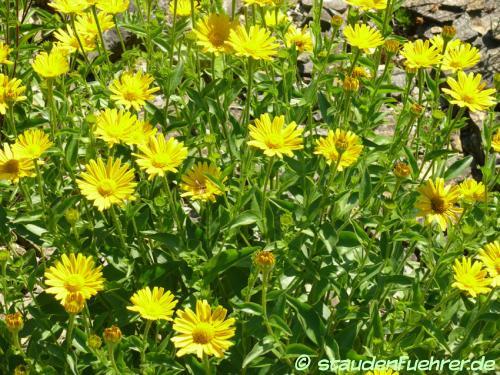 Bild Buphthalmum salicifolium