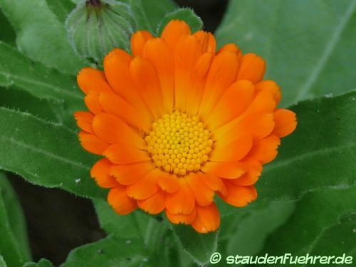Image Calendula officinalis
