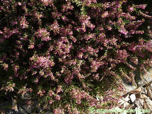 Bild Calluna vulgaris