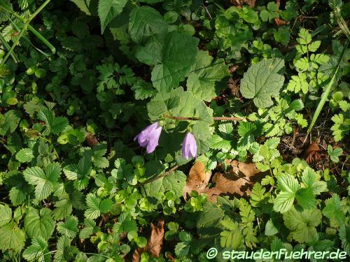 Bild Campanula rotundifolia