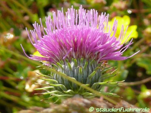 Image Carduus defloratus ssp. carlinaefolius