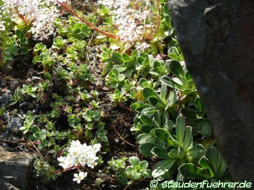 Image Carex norvegica