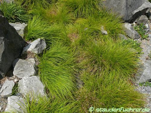Image Carex sempervirens