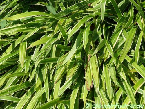 Image Carex siderosticha 'Variegata'