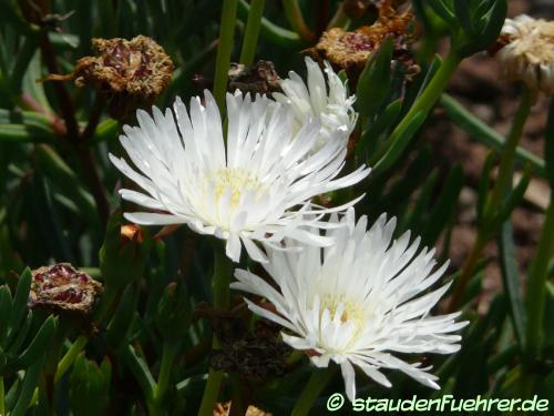 Image Carpobrotus rossii 'White Hot'