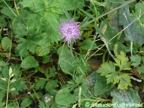 Bild Centaurea scabiosa