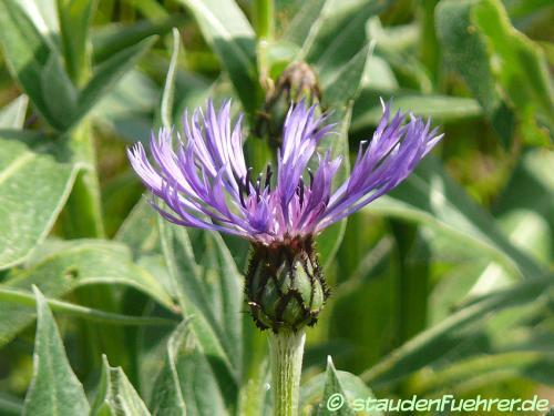 Image Centaurea triumfettii