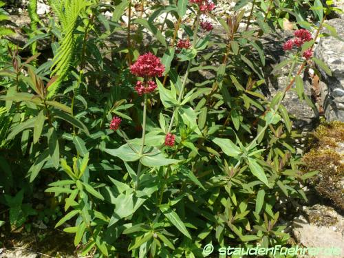 Image Centranthus ruber