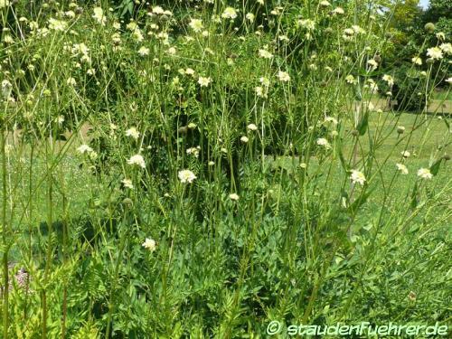 Image Cephalaria gigantea