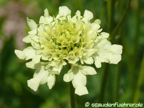 Bild Cephalaria gigantea