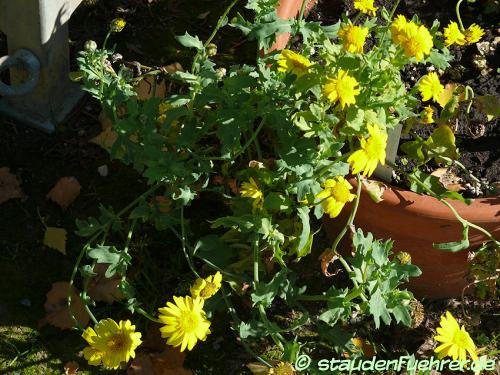 Bild Chrysanthemum segetum+Glebionis segetum