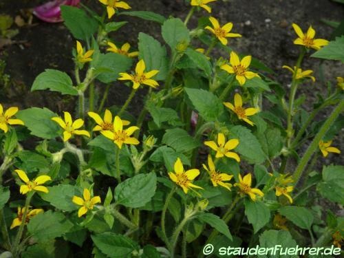 Bild Chrysogonum virginianum