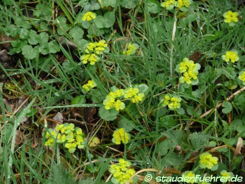 Bild Chrysosplenium alternifolium
