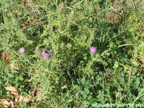 Image Cirsium vulgare