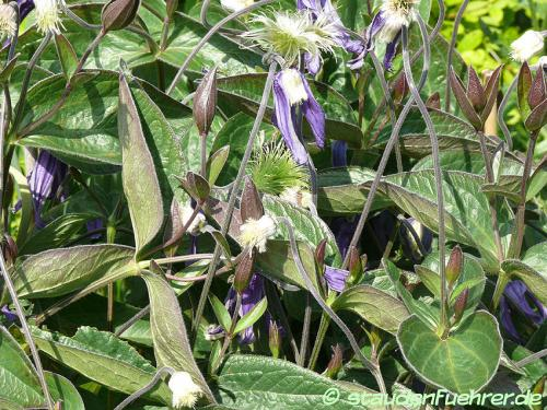 Bild Clematis integrifolia